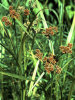 dark green bulrush