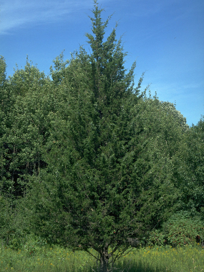 Eastern Red Cedar Tree Information ~ Home tree profile eastern red cedar natural christmas